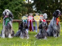 Most successful English Setters in Estonia...